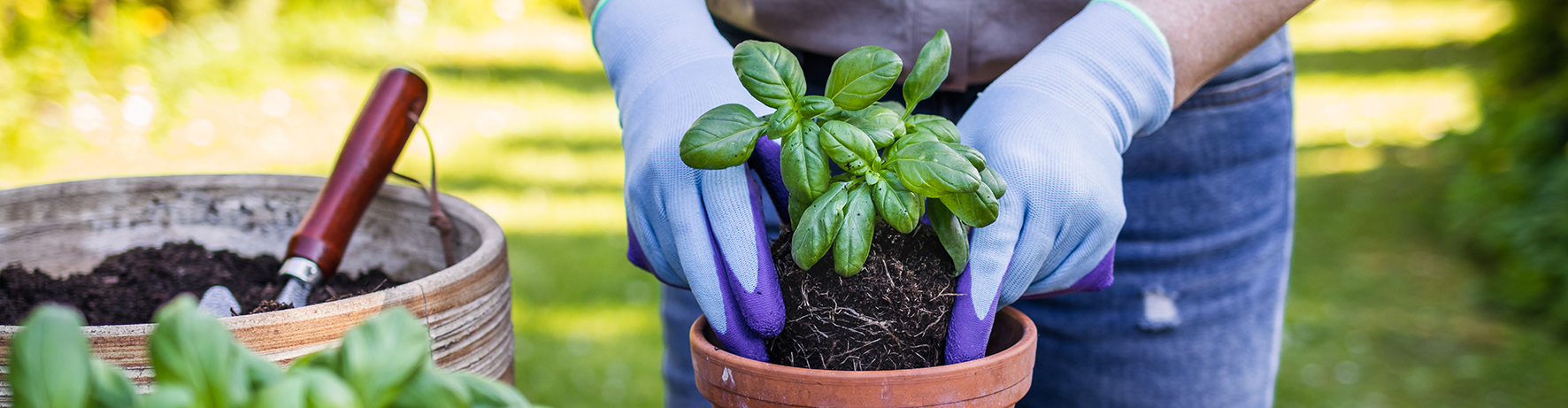 A person planting basil in a terracotta pot outdoors.