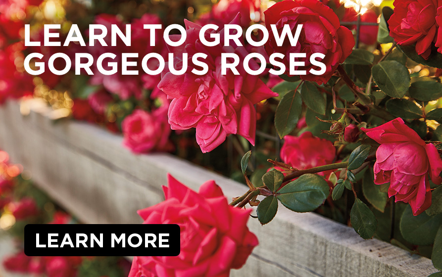 Learn to Grow Gorgeous Roses