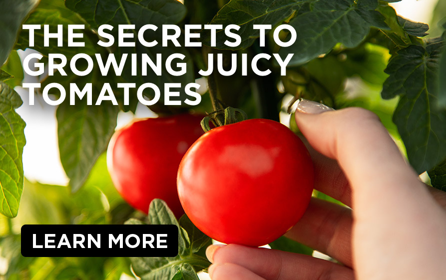 The Secrets to Growing Juicy Tomatoes