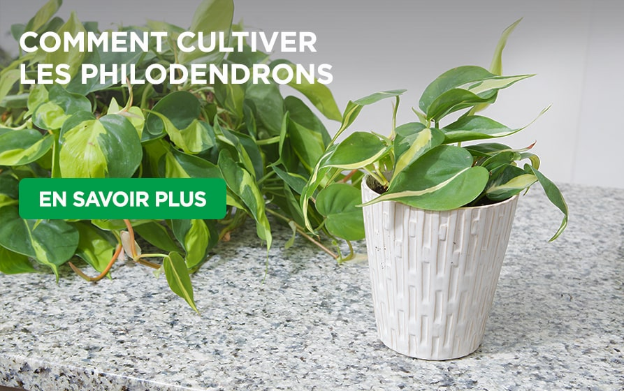 Philodendrons growing on counter