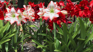 How To Care For Amaryllis Rose Amp Flower Gardening