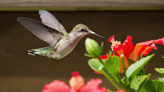 How To Attract Hummingbirds: The Right Plants U0026 Settings   Rose U0026 Flower  Gardening