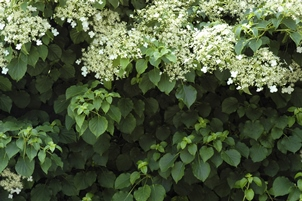 Flowering vines the top crawlers for Fast growing climbing plants for screening