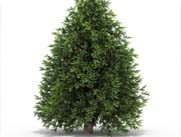 evergreen tree on white background