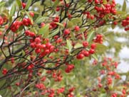 chokeberry branch