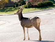 deer in the street