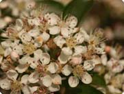 red chokeberry blossoms