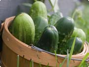 cucumbers in basket