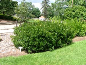 Deer Resistant Shrubs