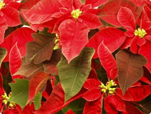 poinsettias_T.jpg