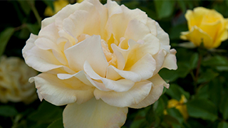 How to grow roses rose flower gardening miracle gro mightylinksfo