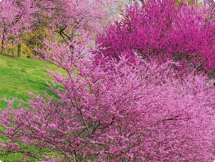 Spring Flowering Trees & Shrubs