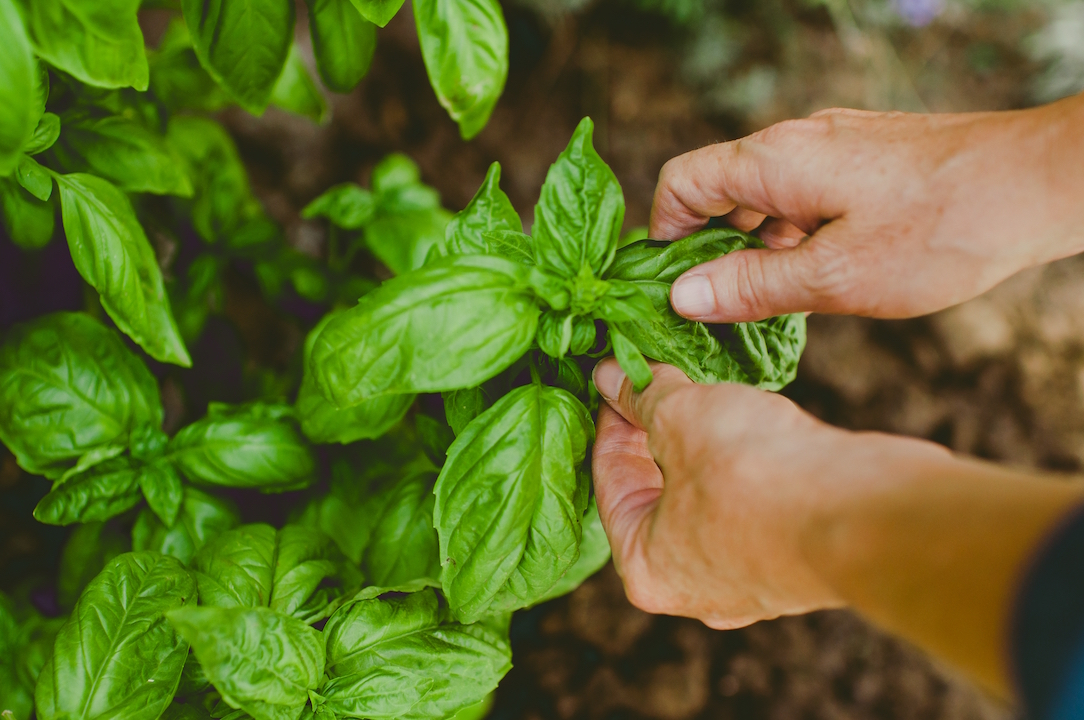 Person harvesting a basil plant.