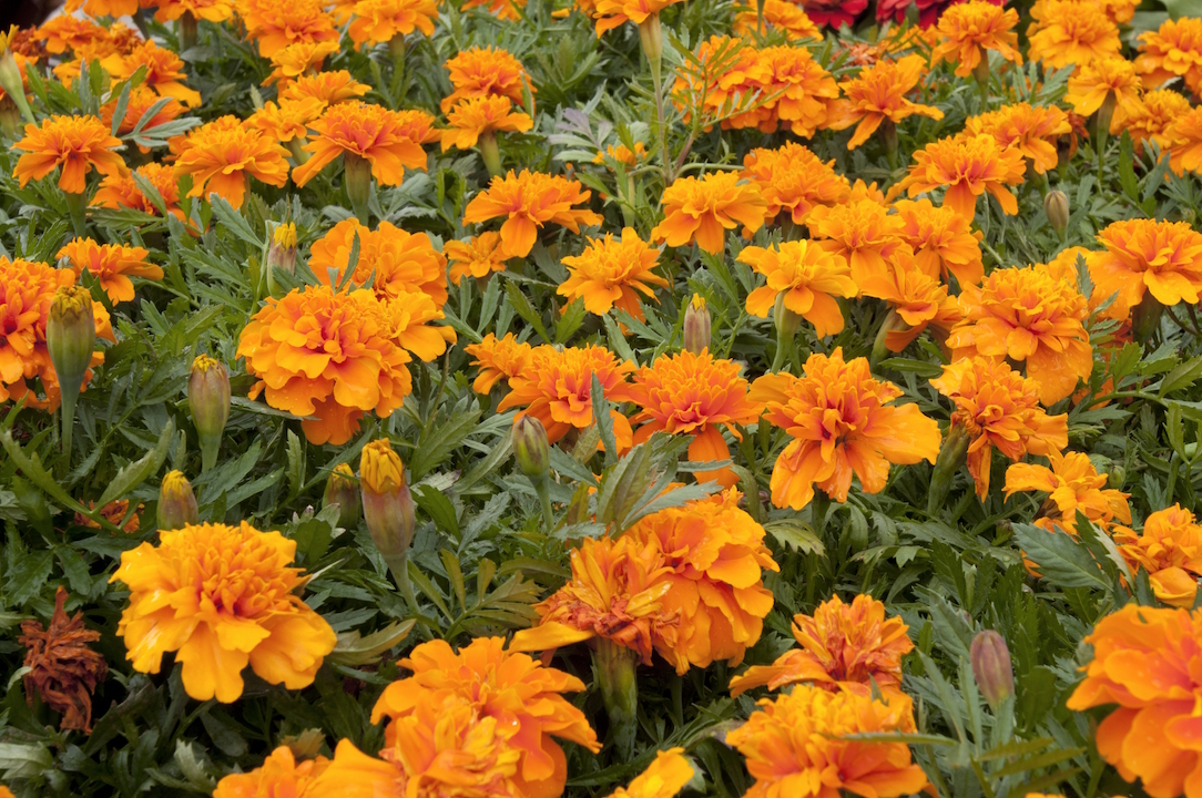 A group of Marigold flowers growing in a garden.