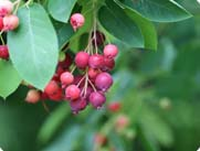 serviceberries_2.jpg