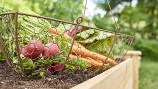 carrots and radishes in metal basket in raised bed