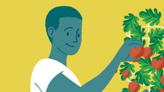 Illustration of a man picking tomatoes off a tomato plant.