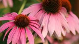 pink and light pink coneflowers