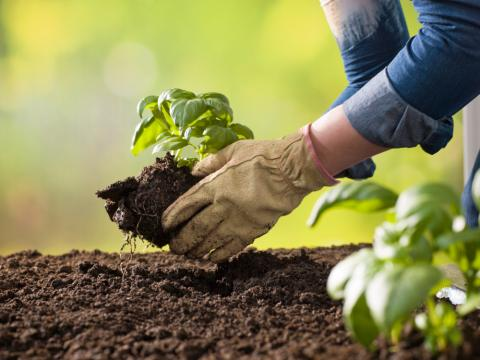 A person puts a basil transplant into the dirt, ready to grow in an herb garden.