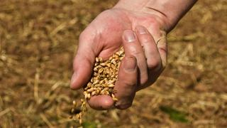 Hand spreading seed along a furrow