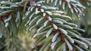 A frost covered evergreen tree.