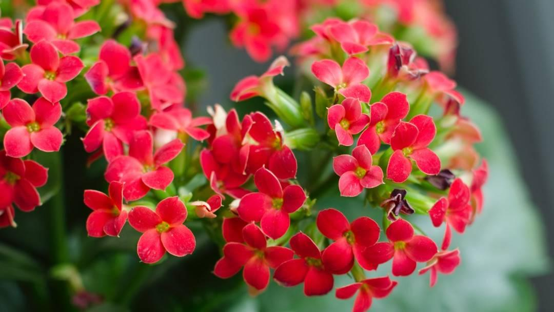 How to Grow Kalanchoes | Miracle-Gro Red Blooming Houseplants on blooming trees, blooming leaves, blooming plants, blooming apples, blooming bromeliads, blooming large peony, blooming hibiscus, blooming iq, blooming weeds, blooming iris, blooming perennials, blooming annuals, blooming bonsai, blooming shrubs,