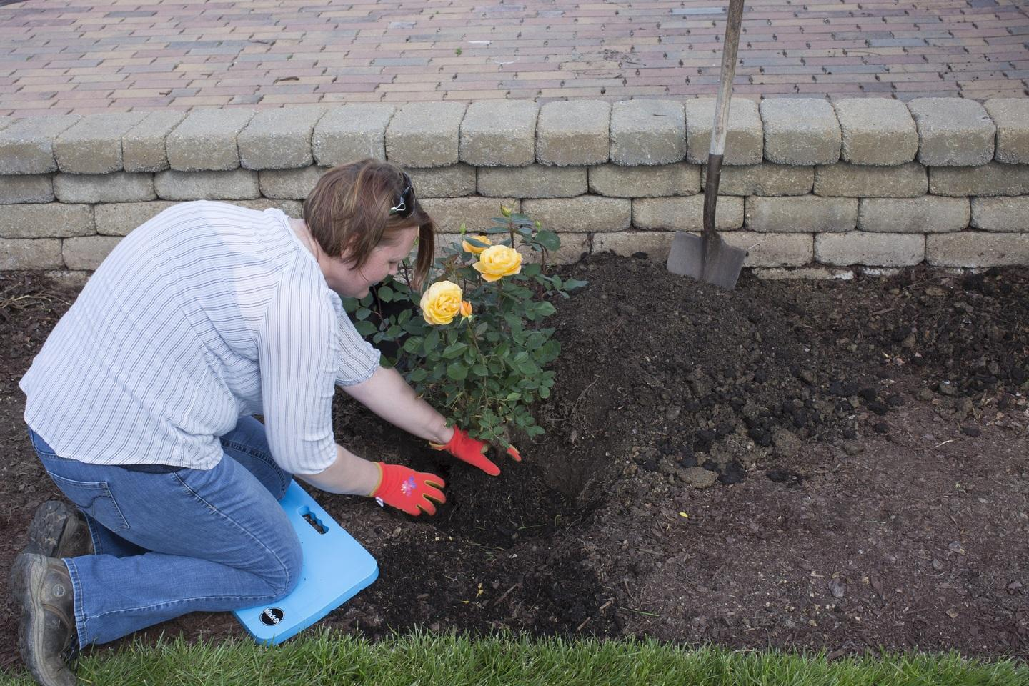 A woman uses a large shovel and knee pads to plant roses in her in-ground garden.