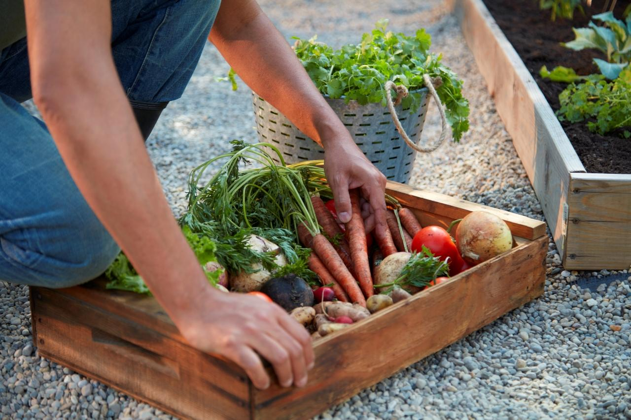 How to Harvest Vegetables: person kneeling by wooden tray holding harvested root vegetables, metal bucket holding harvested cilantro, and raised garden bed