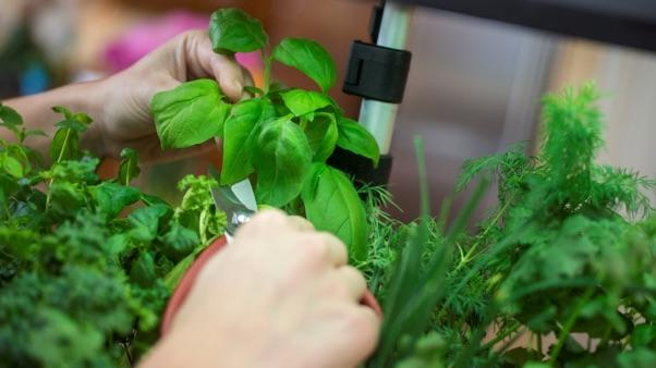 Benefits of Hydroponic Gardening: harvesting herbs grown hydroponically