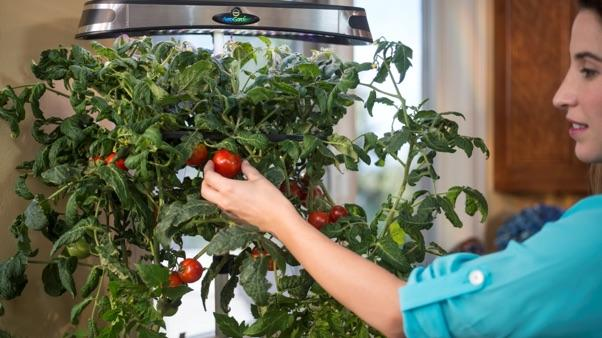 What Plants Can Be Grown in Water: hydroponic tomatoes