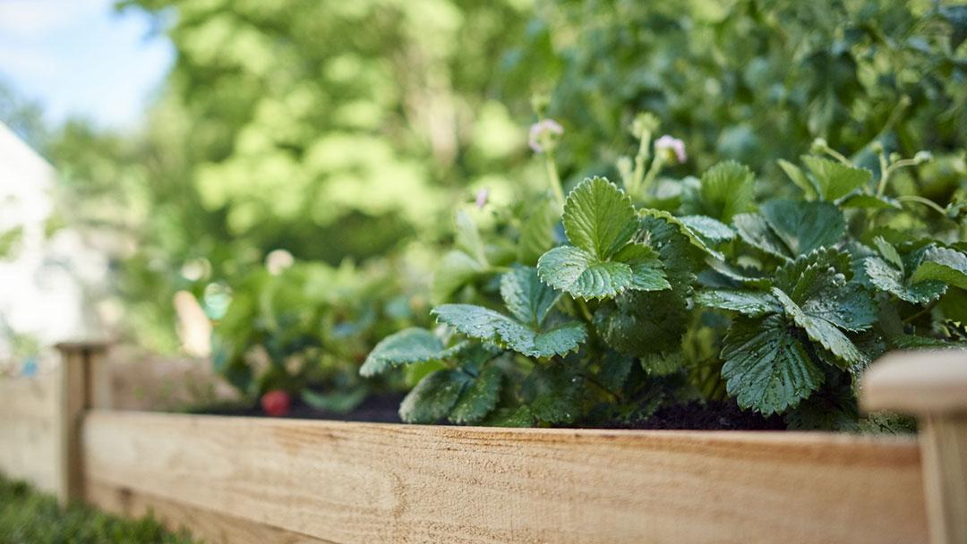 Strawberries in Raised Bed