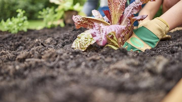 What to Plant in a Raised Bed: planting lettuce