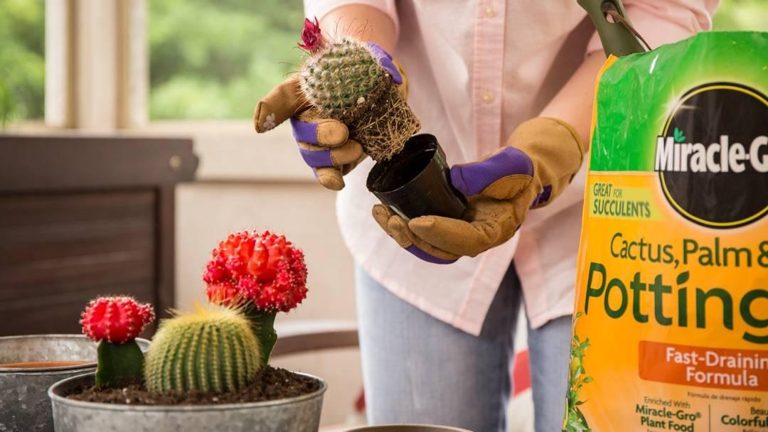 person planting small cactus in black pot