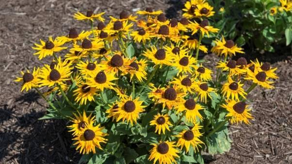 How To Grow Black Eyed Susans Miracle Gro