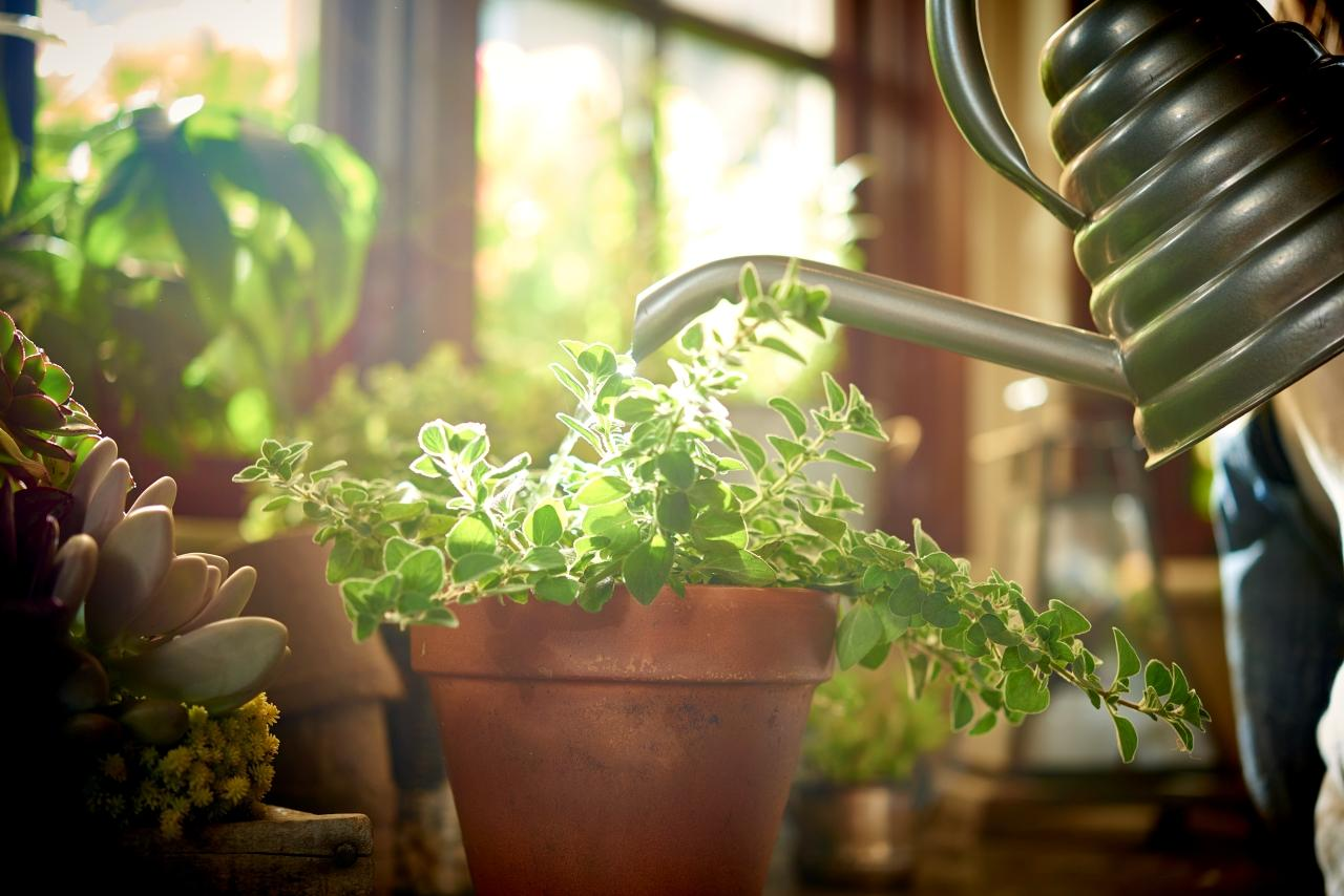 Summer Care for Indoor Plants: Watering houseplants near sunny window with metal watering can
