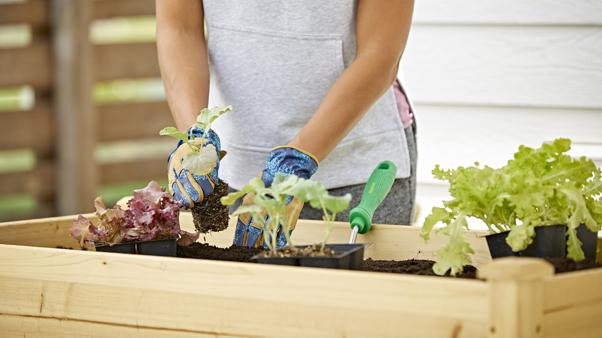 woman planting vegetables in elevated wooden raised bed