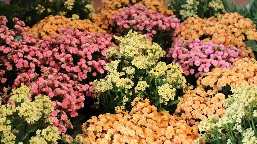 How To Grow Kalanchoes Miracle Gro