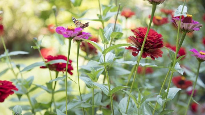 Create a Raised Bed Pollinator Garden: butterfly on red and purple flowers