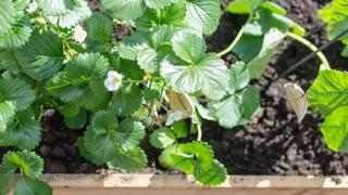 How to Build a Simple Raised Bed: strawberry plants in wooden raised bed