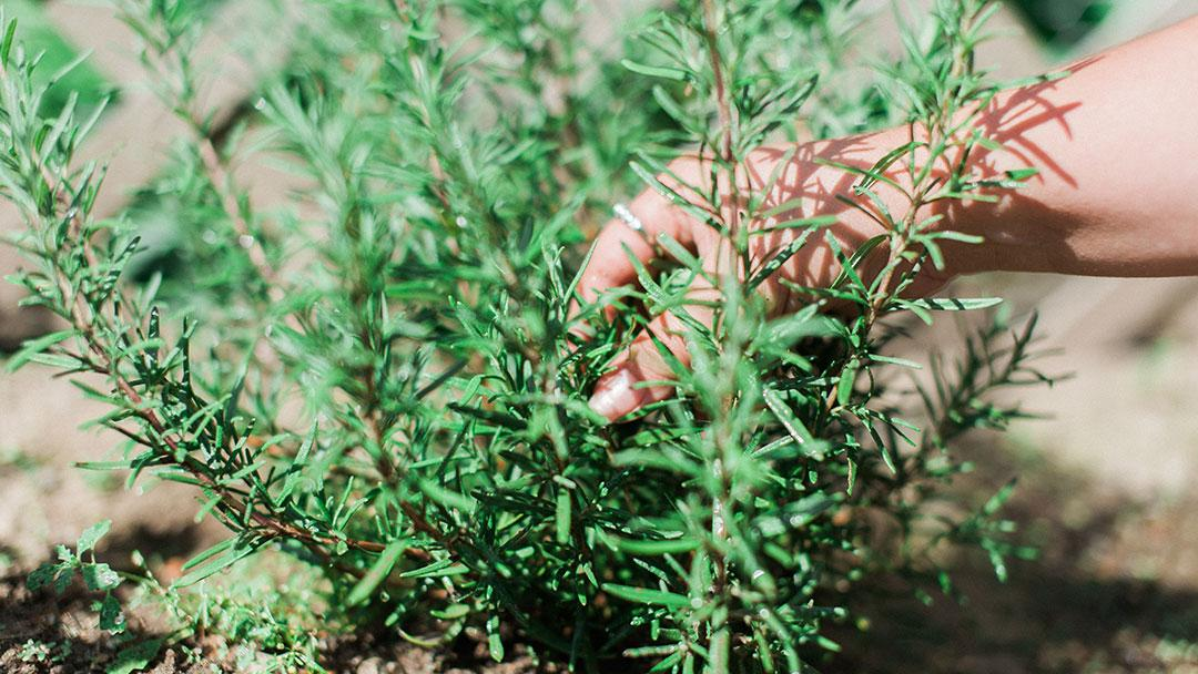 Harvesting Rosemary Feature