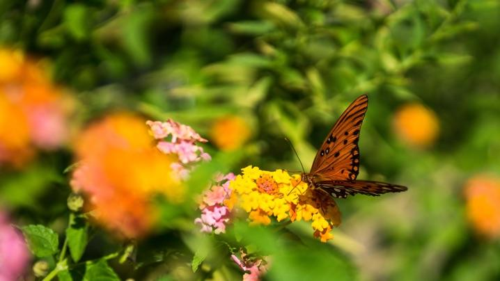 Plant a Raised Bed Pollinator Garden: butterfly gathering pollen