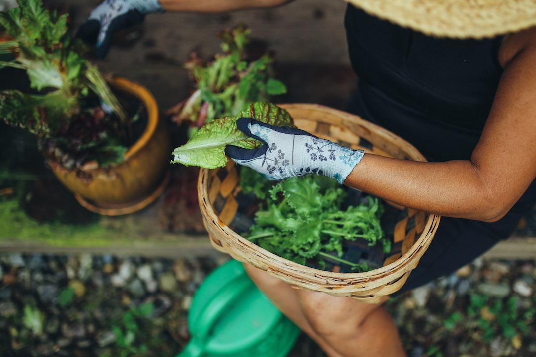 Woman planting lettuce in a container pot.