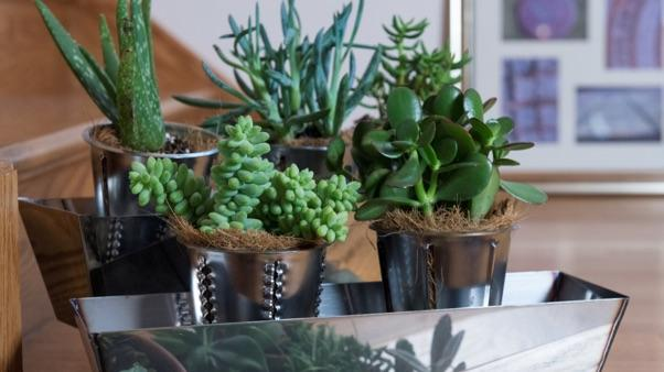 How To Grow Jade Plants Miracle Gro