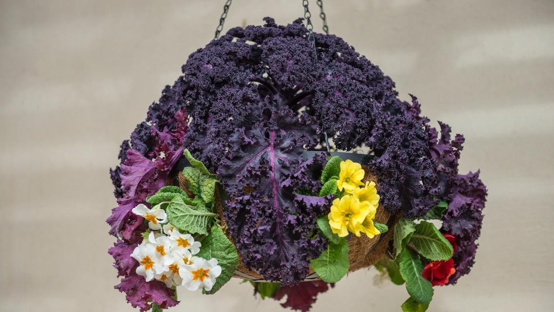 Vertical Gardening: hanging basket with kale