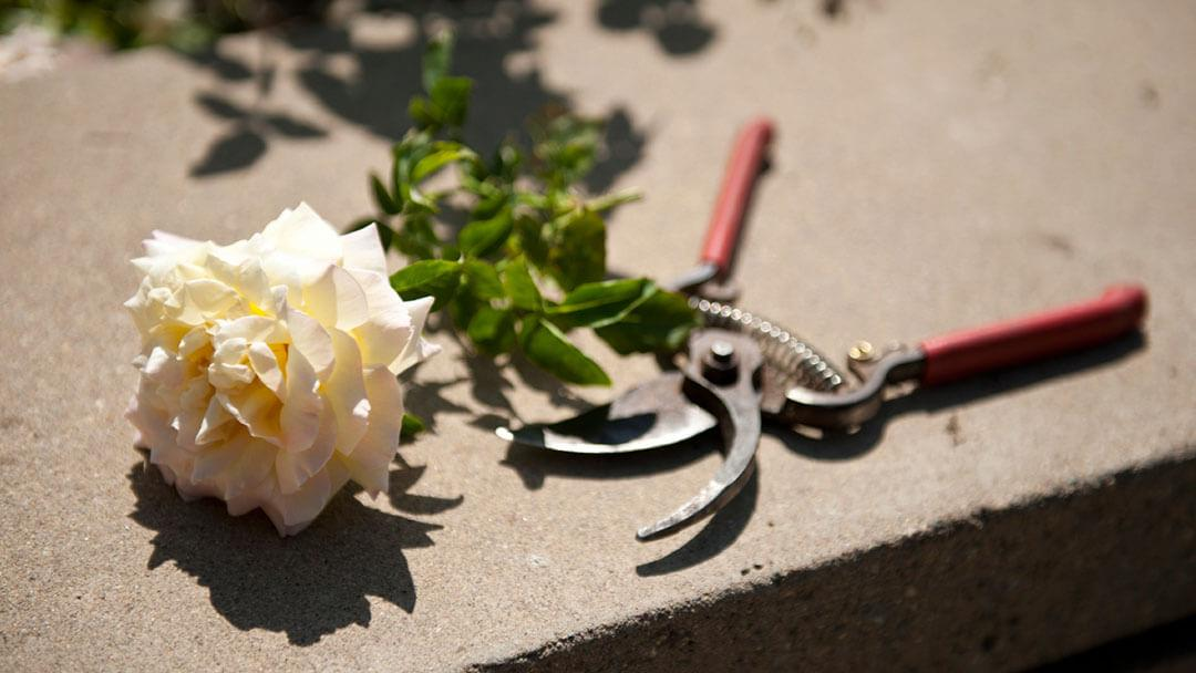 Pruners and a Cut Rose