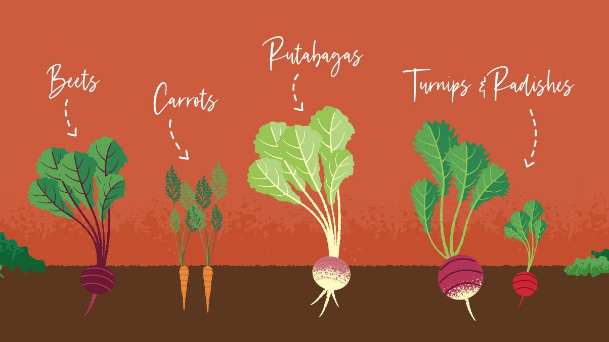 Illustration of beets, carrots, rutabagas, turnips, and radishes growing in a garden.