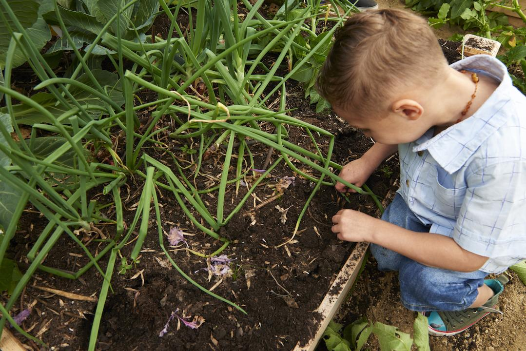 A child looking at an onion garden.