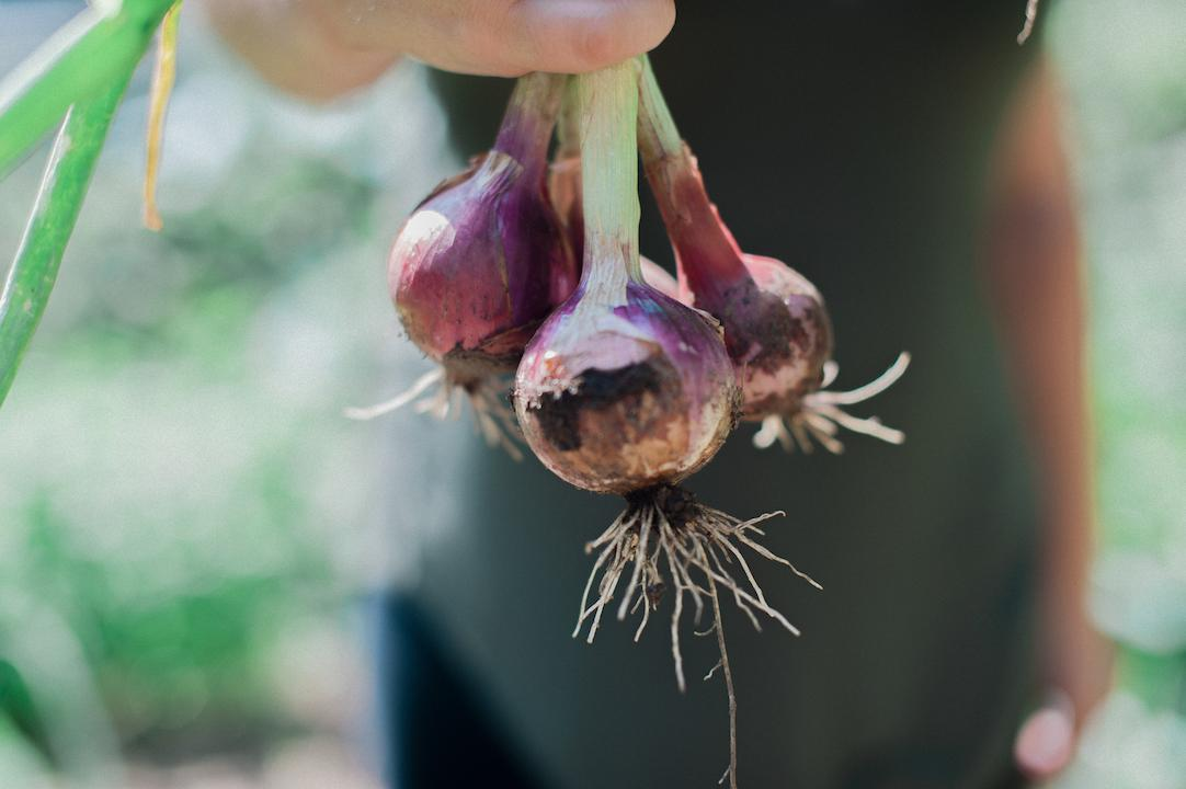 Man holding fresh red onions.