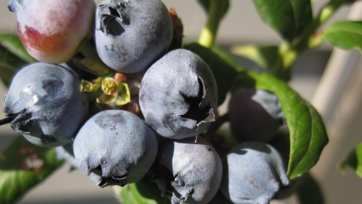 How to Harvest Blueberries
