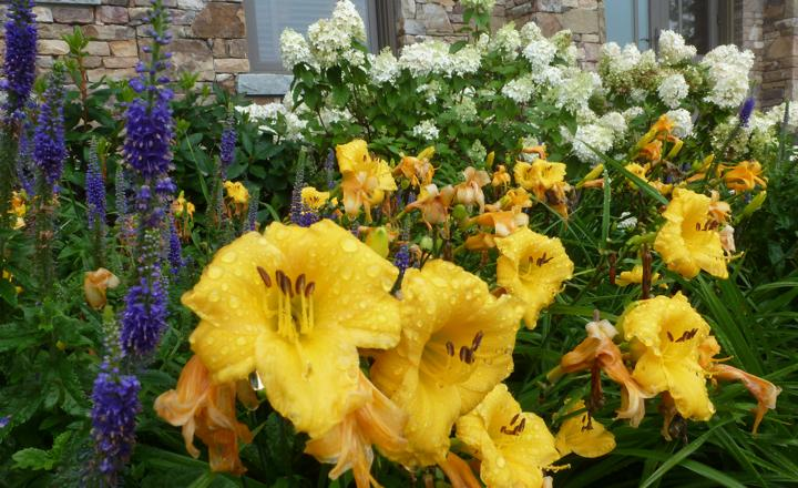 How to Grow Daylilies
